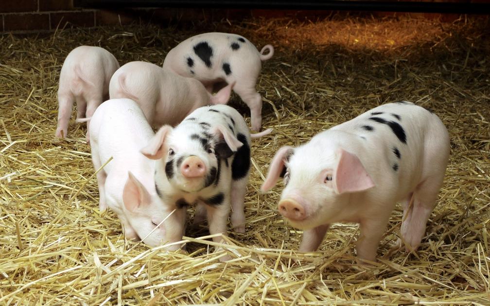 Свиноводство как прибыльный бизнес