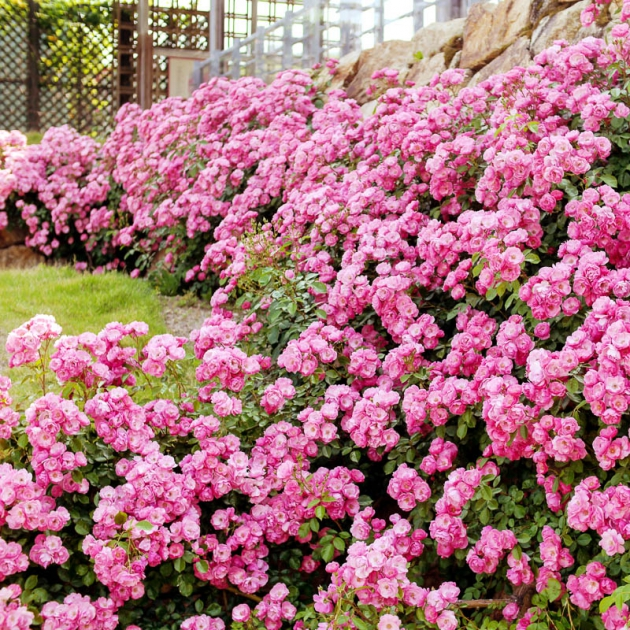 Миниатюрные розы: посадка и уход