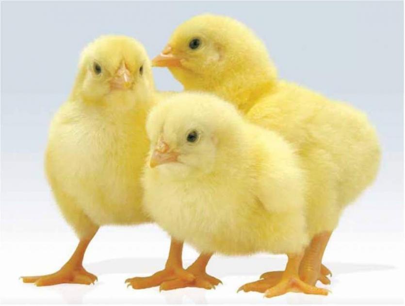 Цыплят считают по осени, а выбирают весной