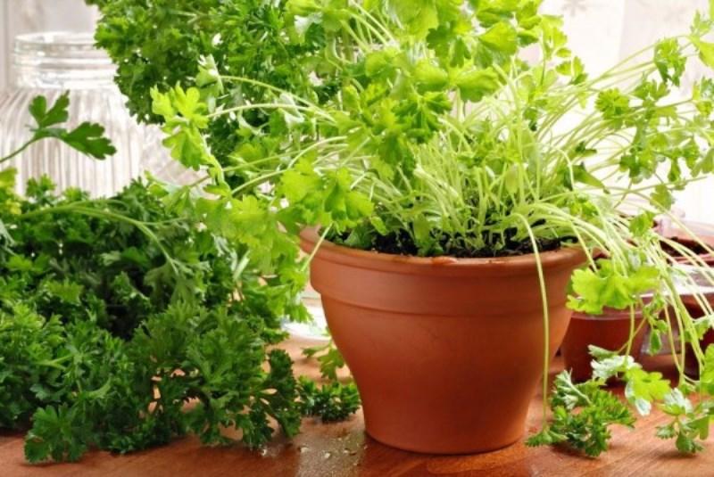 Выращиваем зелень в домашних условиях