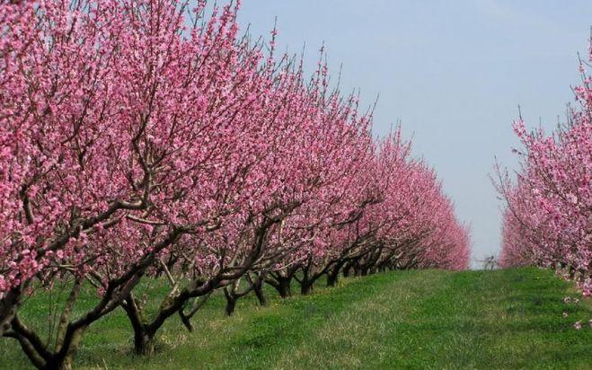 Как ухаживать за персиковыми деревьями весной?
