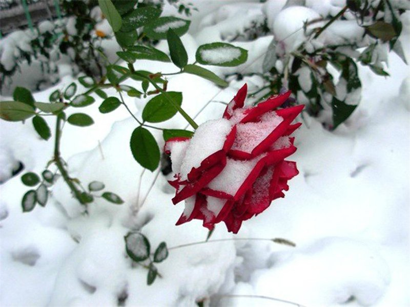 Как уберечь розы от морозов?
