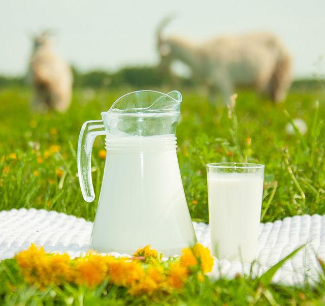 Полезный продукт — козье молоко